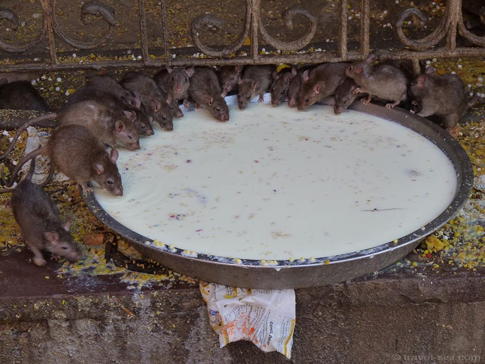 Rattentempel Indien