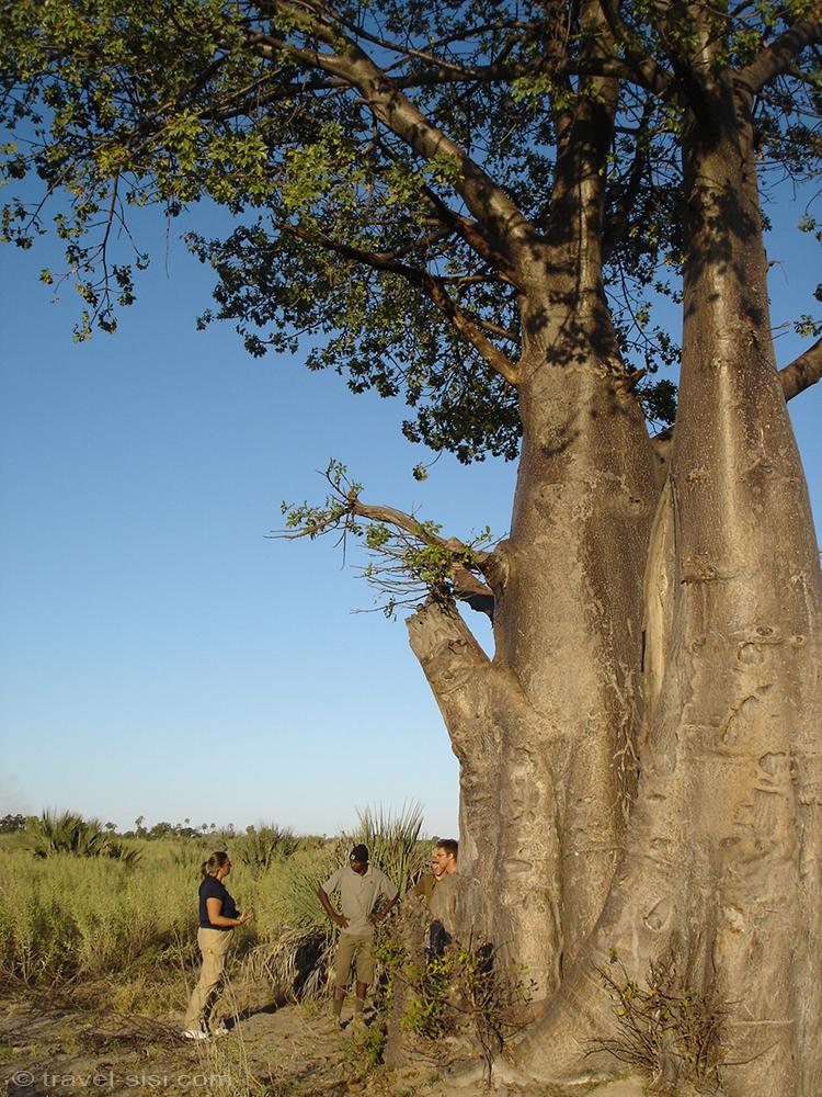 Baobab im Okavango Delta