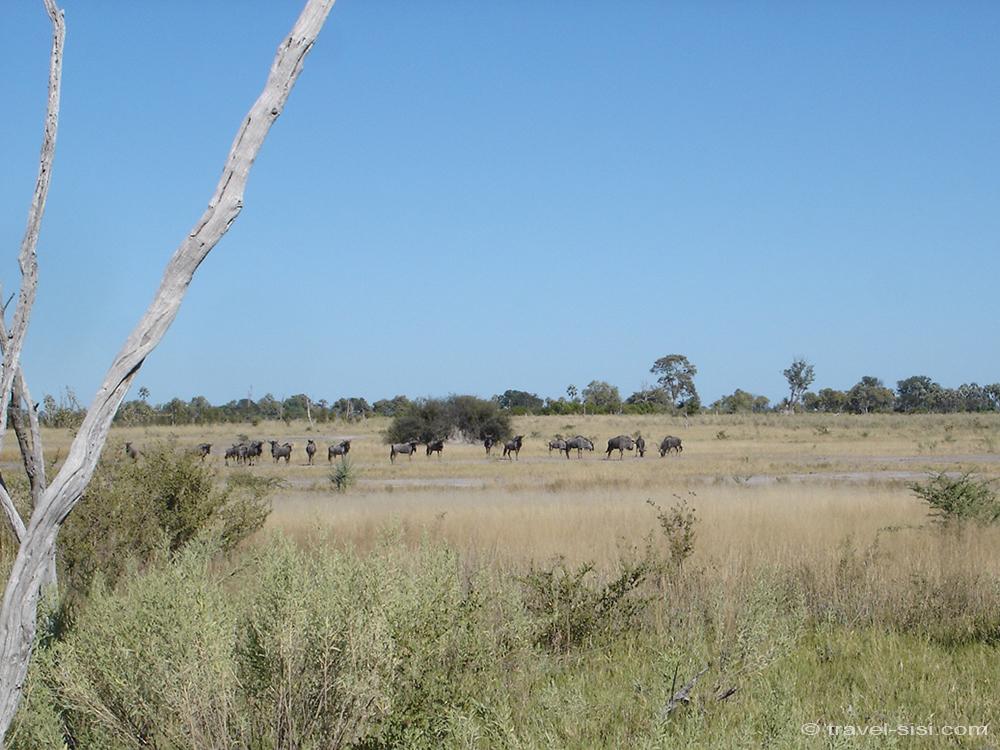 Gnus im Okavango Delta Botswana