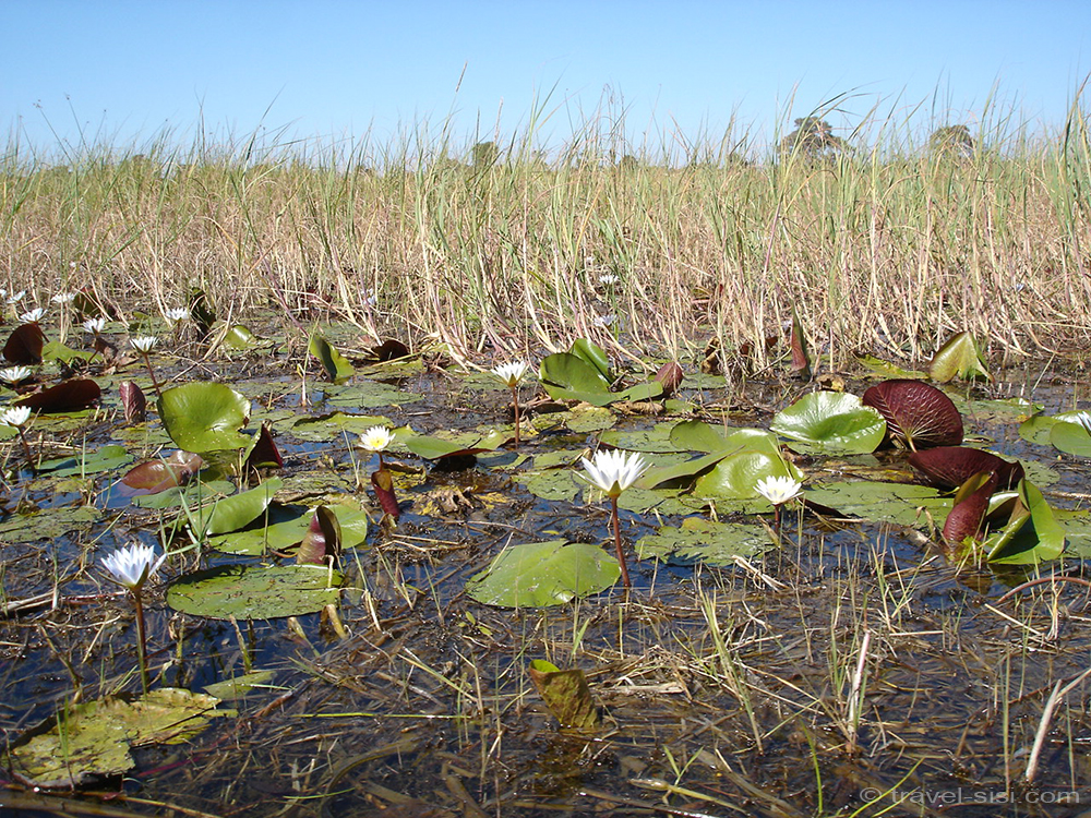 Seerosen im Okavango Delta