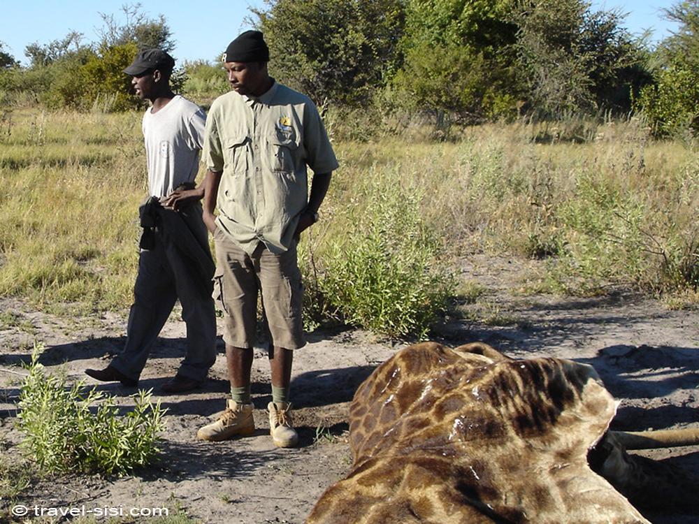 Tote Giraffe im Okavango Delta