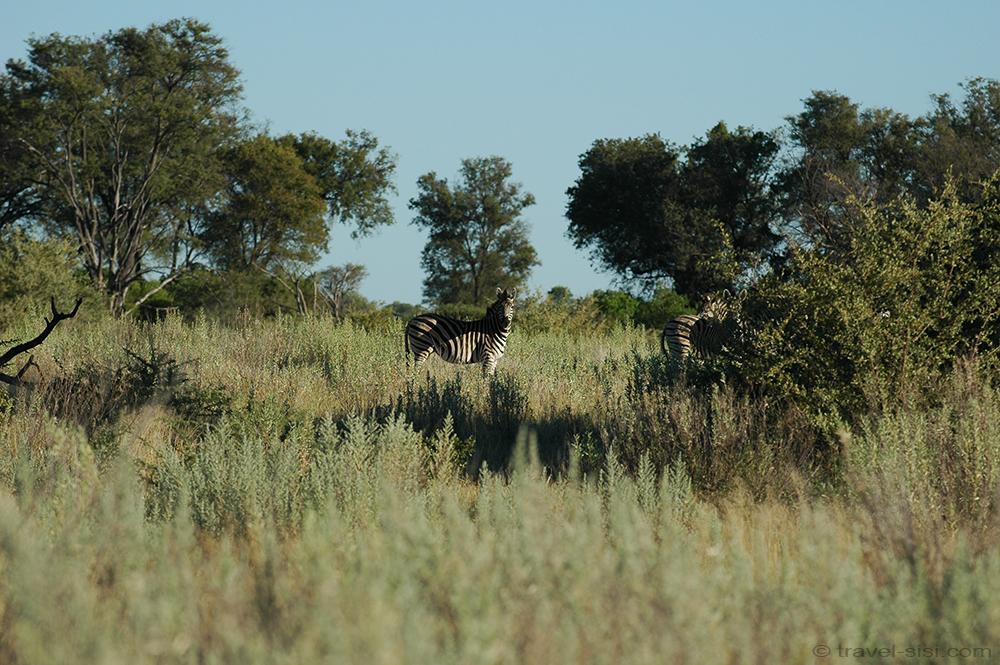 Zebra Okavango Delta