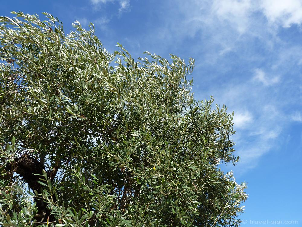 Olivenbaum vor blauem Himmel Masseria Giovanni Apulien