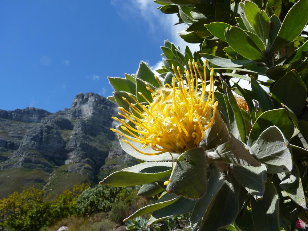 Protea vor dem Tafelberg auf dem Pipe Track in Kapstadt