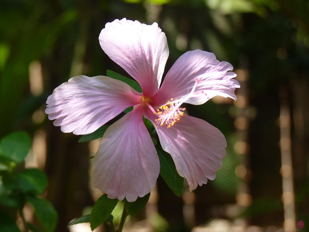 Ayurvedakur Kerala Indien Blume im tropischen Garten