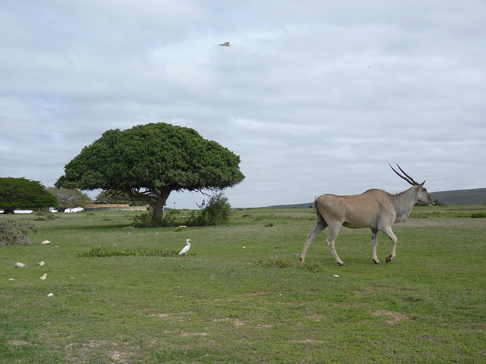De Hoop Nature Reserve Kudu