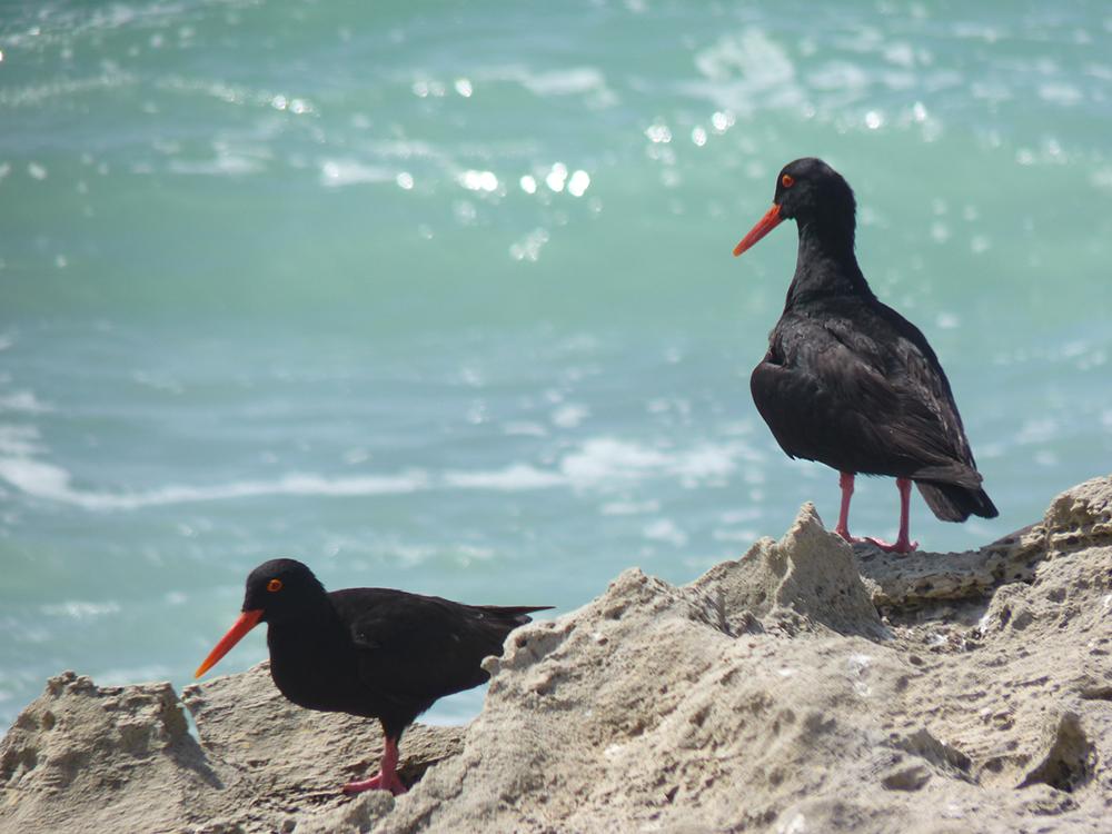 De Hoop Nature Reserve Strandloiper bei Koppie Alleen