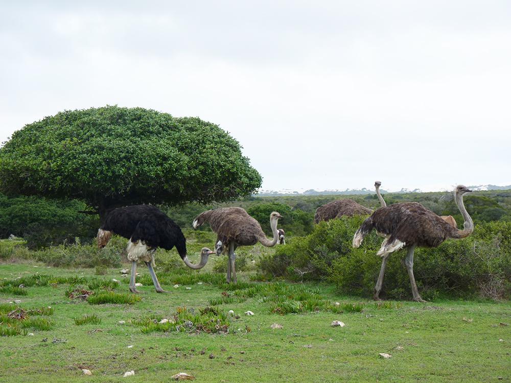 De Hoop Nature Reserve Strausse