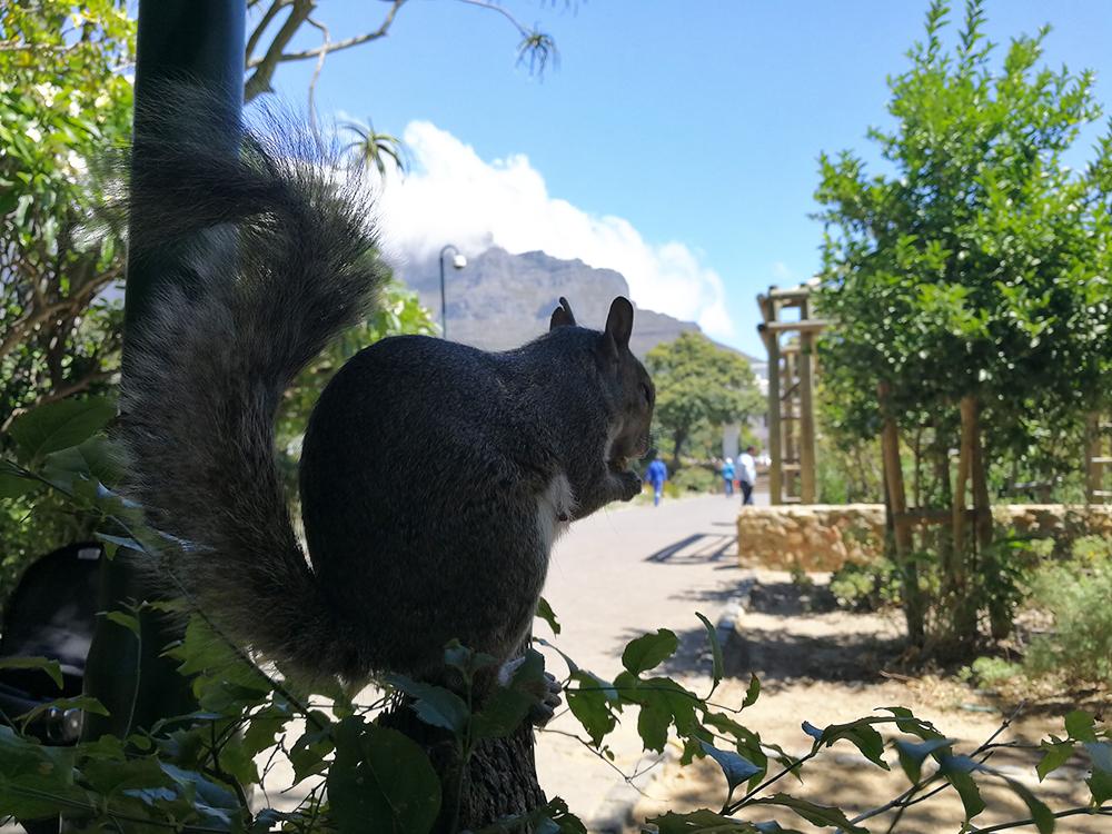 Kapstadt mit Kleinkind Eichhörnchen im Companys Garden