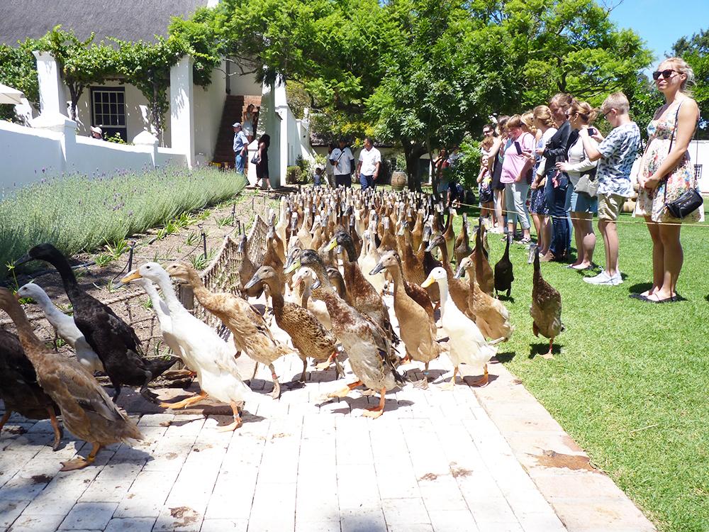 Kapstadt mit Kleinkind Gänseparade im Vergenoegd Weingut