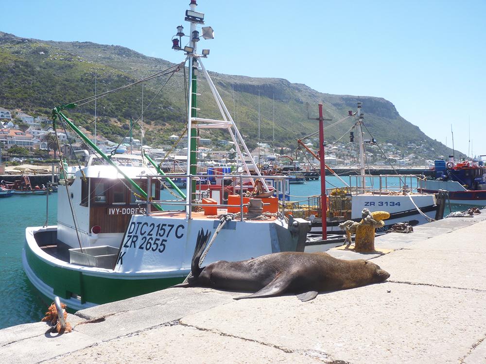 Kapstadt mit Kleinkind Hafen von Kalk Bay mit Seehund