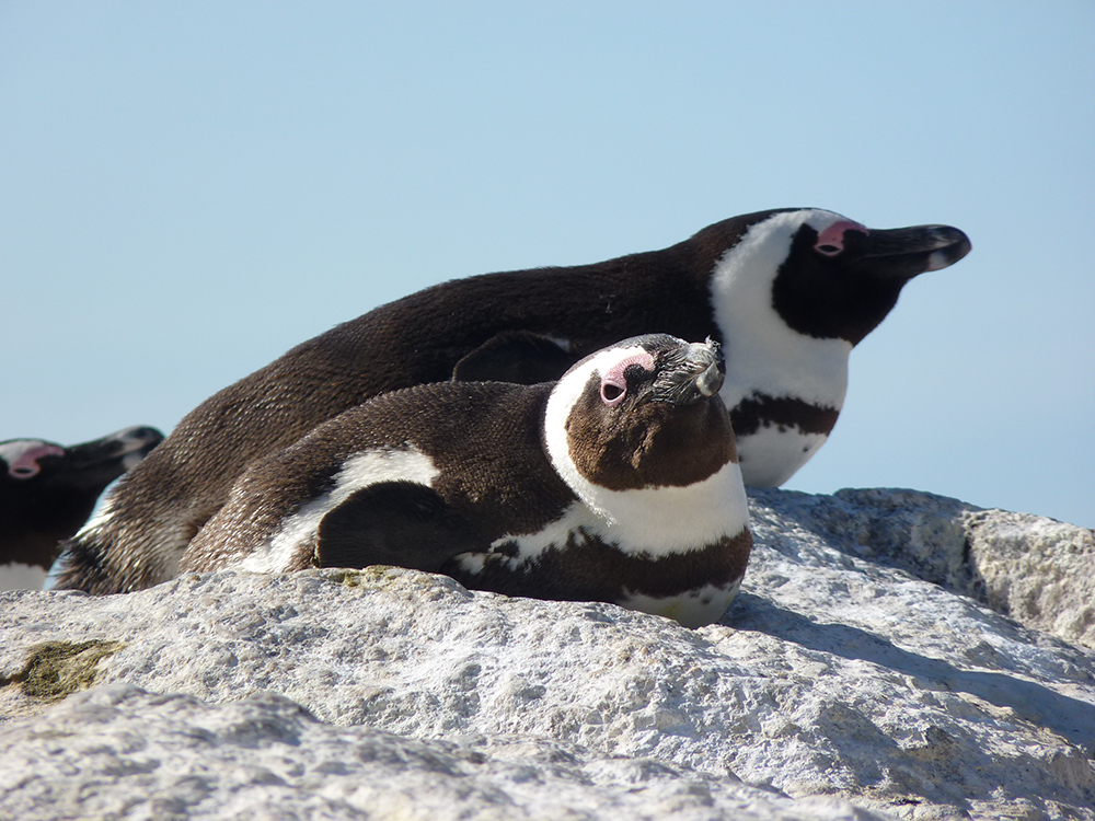 Kapstadt mit Kleinkind Pinguine am Boulders Beach