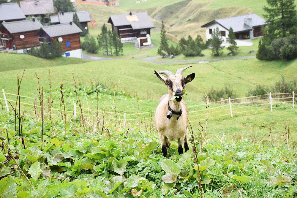 Gorfion das Familienhotel Ziege auf dem Panoramaweg