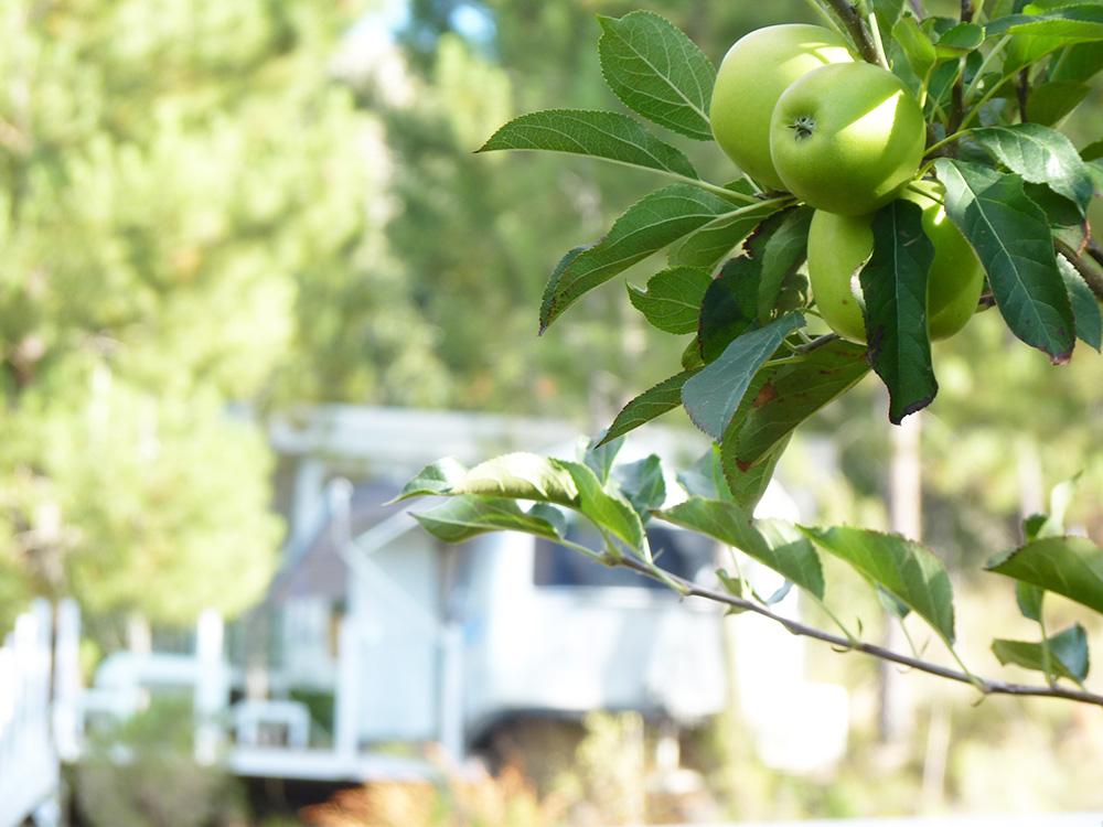 Old Mac Daddy Südafrika Trailer mit Apfelbaum