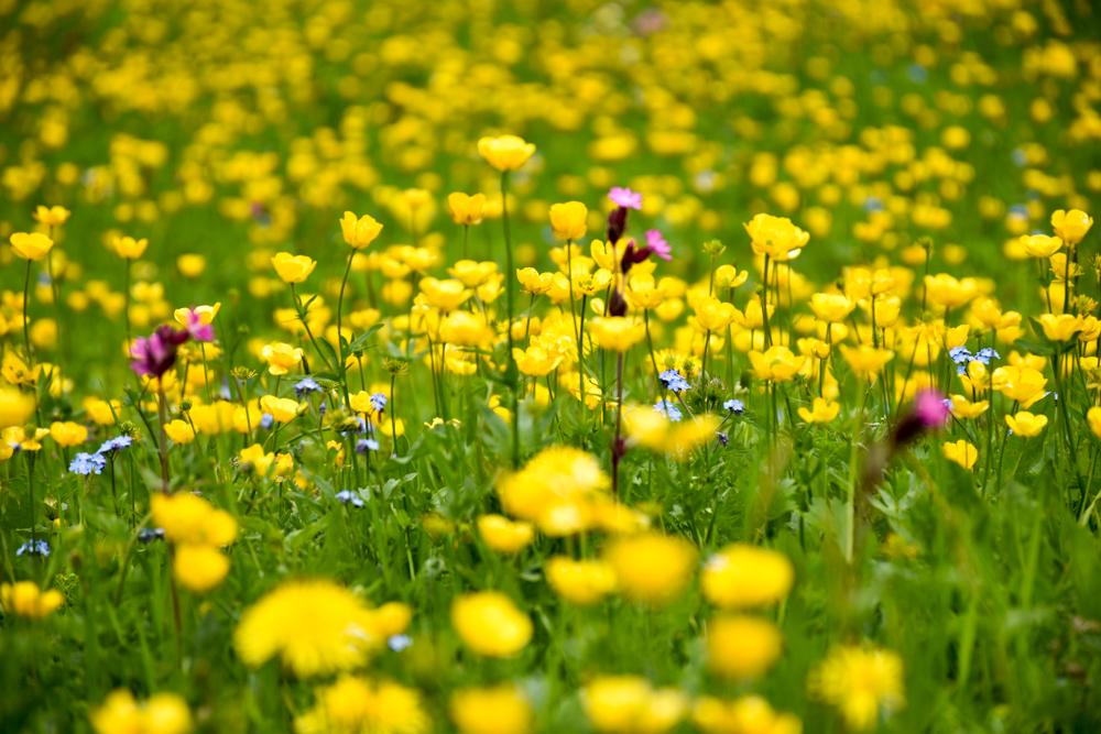 Ausflugstipp im Prättigau Wanderung zum Partnunsee blühende Frühlingswiese