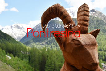 Die Steinböcke in Pontresina auf Steinbockpirsch im Engadin