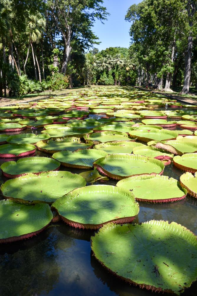 Sehenswürdigkeiten Mauritius meine 10 Highlights Lily Pond im Botanischen Garten