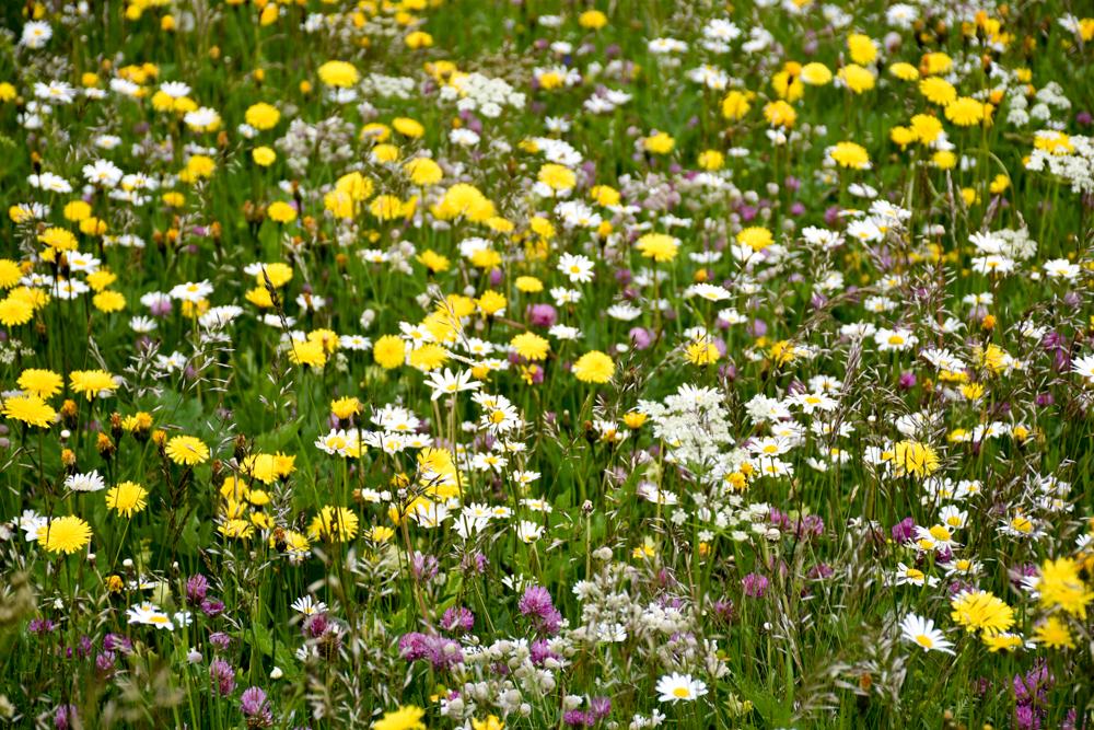 Guarda und der Schellen-Ursli-Weg Blumenwiese