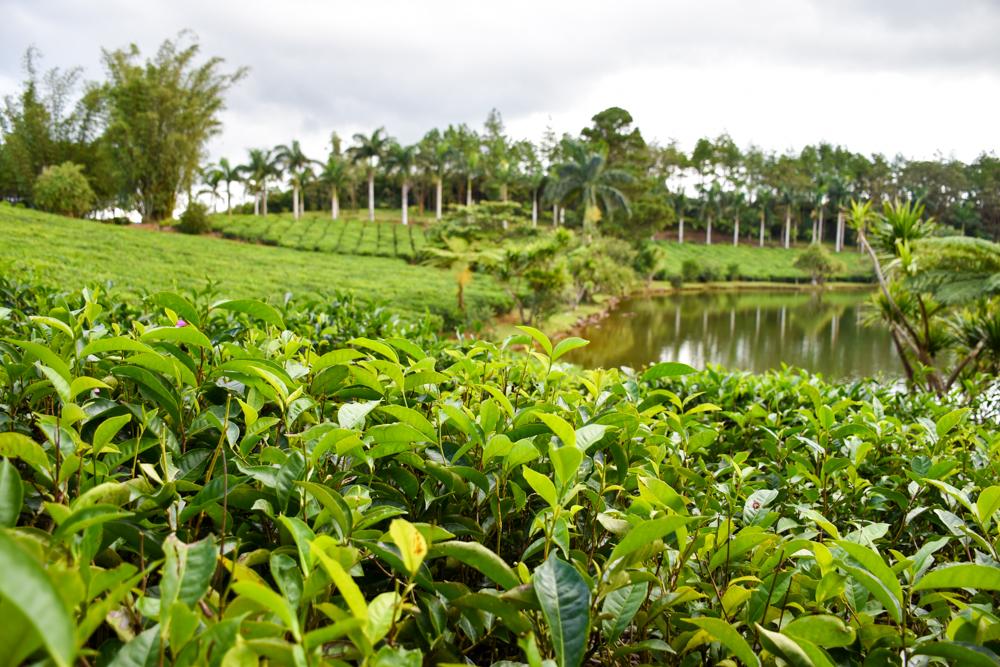 Restauranttipps Mauritius Teefarm Bois Cheri