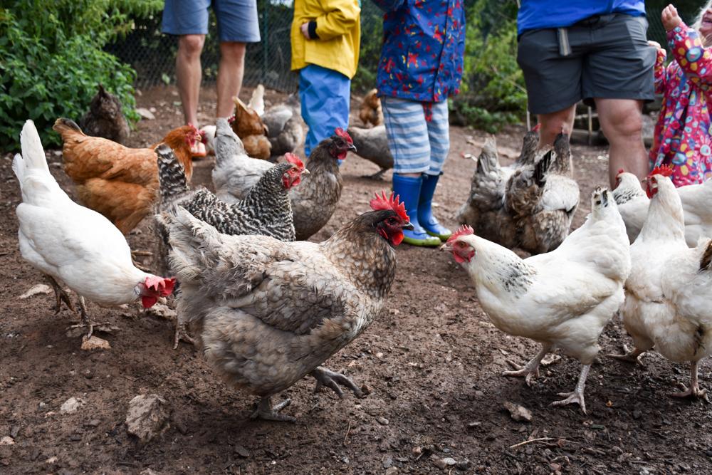 Glamping Gower Peninsula Wiesenbett Hillside Farm Hühnerbesuch bei der Farmtour