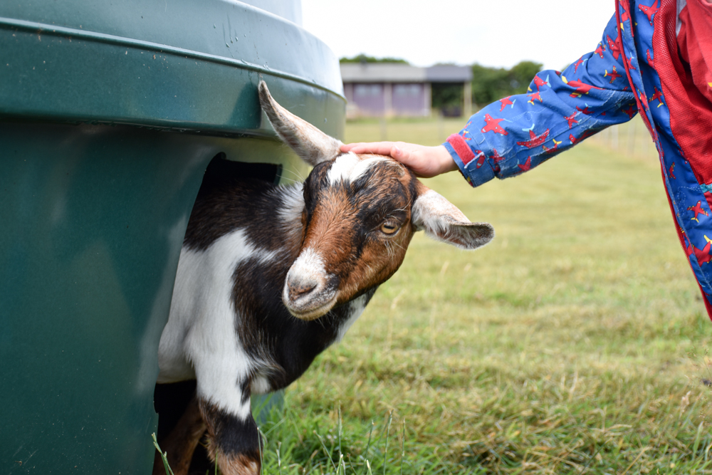 Glamping Gower Peninsula Wiesenbett Hillside Farm Kind streichelt Ziege