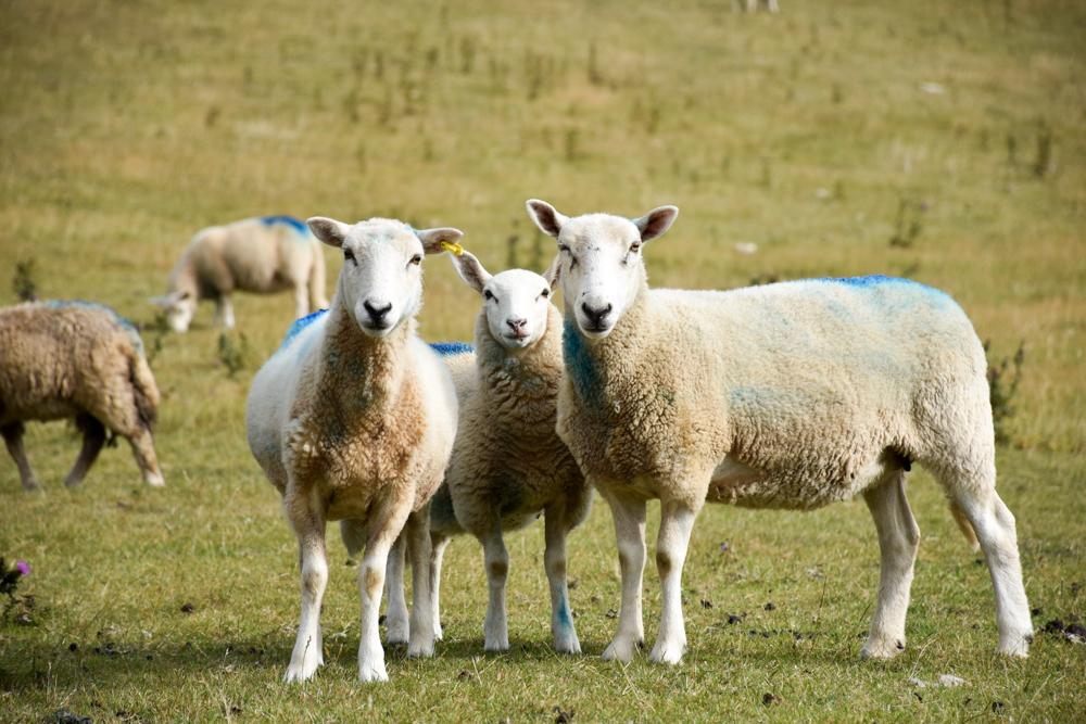 Glamping Gower Peninsula Wiesenbett Hillside Farm Schafe