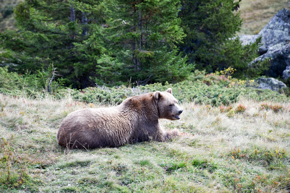 Familienausflug Arosa Bärenland der erste Braunbär Napa
