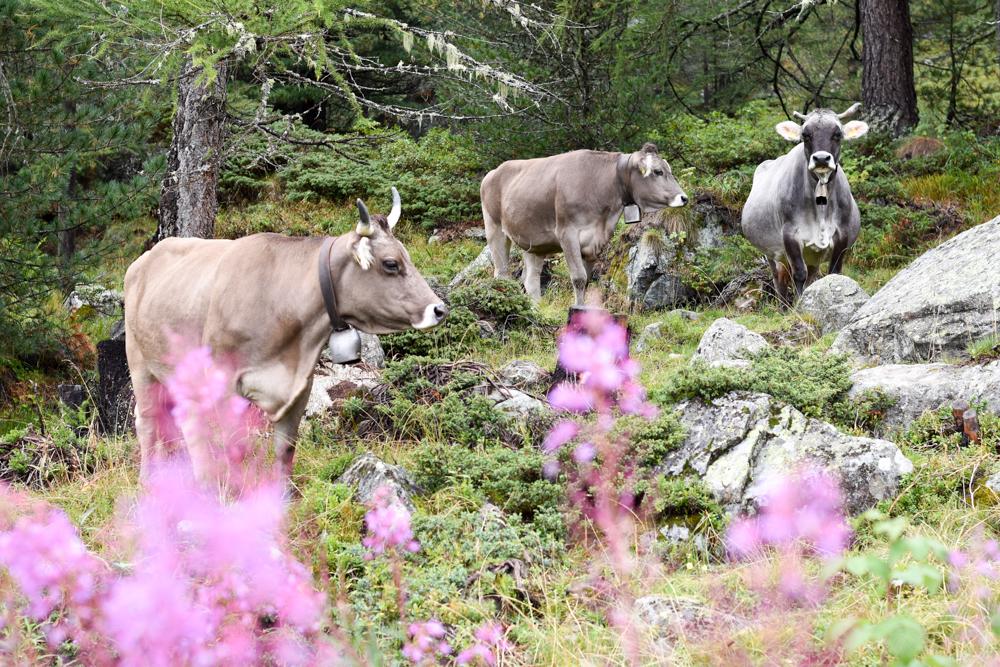 Weekend in der Valposchiavo Graubünden Schweiz Kühe Val di Campo
