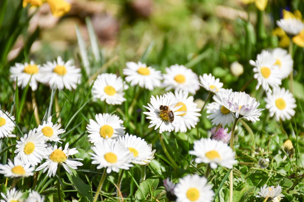 Das Positive der Coronakrise Biene im Garten