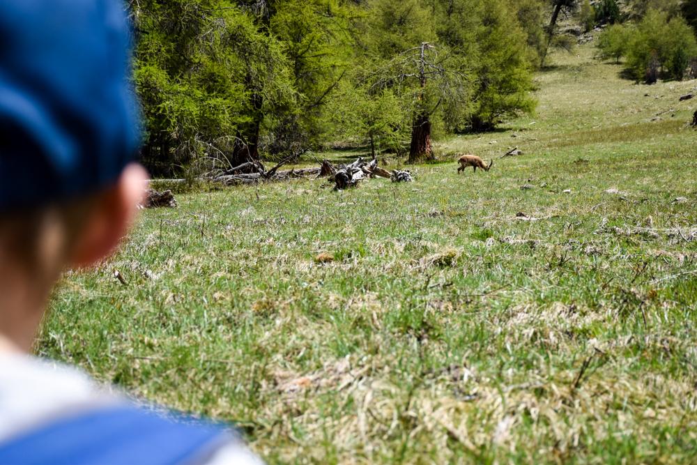 Steinböcke Pontresina Steinbock auf Wiese beim Grasen