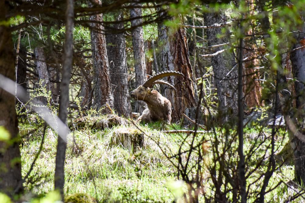 Steinböcke Pontresina Steinbock mit mächtigem Geweih im Wald