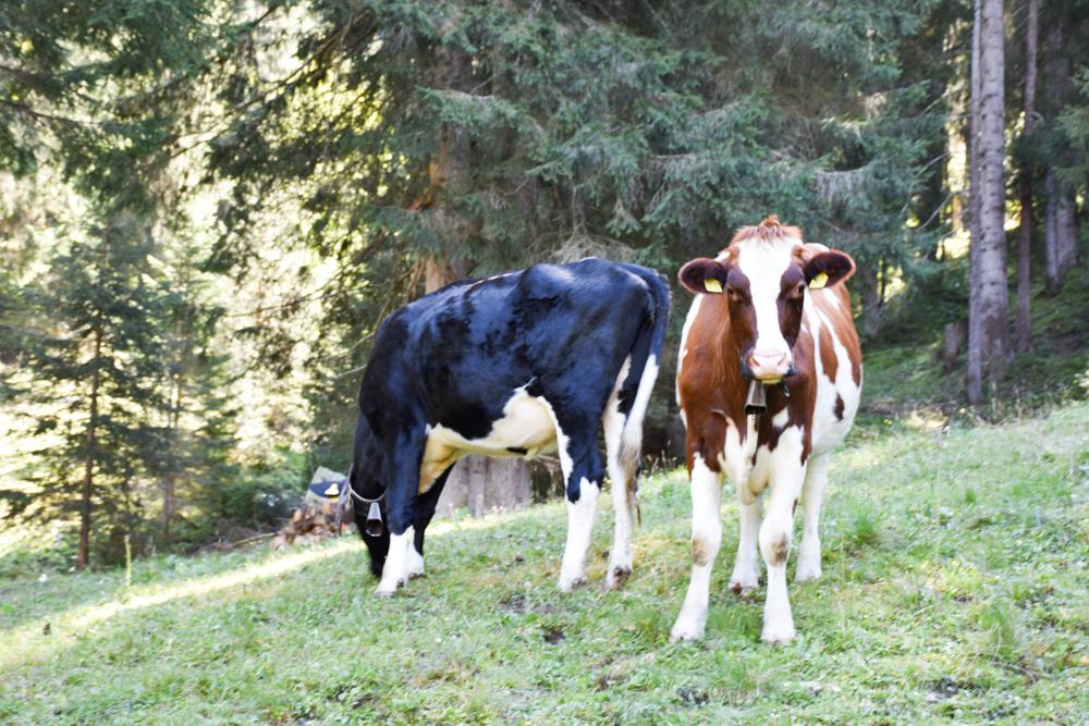 Ausflugstipp Zwergenweg Klosters Graubünden Schweiz Kühe beim Grillplatz