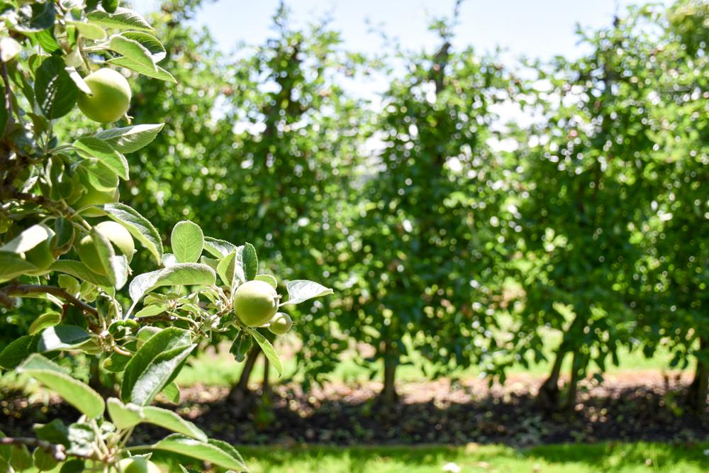 Familienfreundliche Fahrradtour Thurgau Bodensee Apfelbäume