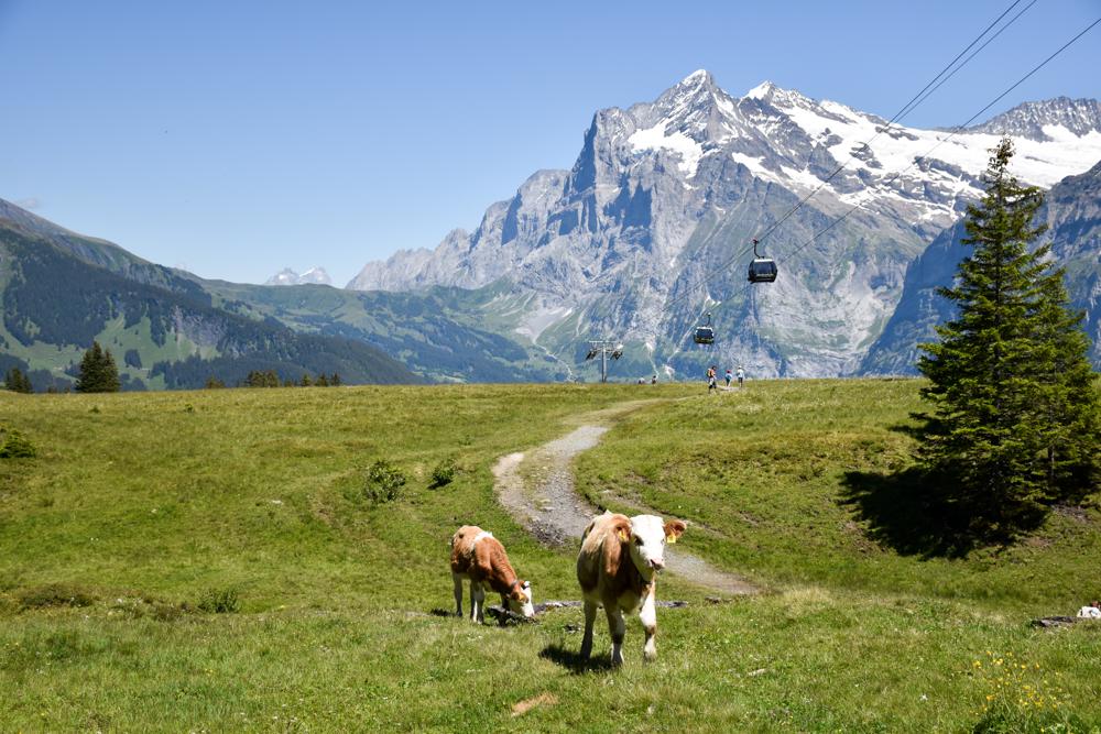 Familienausflug Lieselotteweg Männlichen Grindelwald Berner Oberland Schweiz Kühe und Aussicht