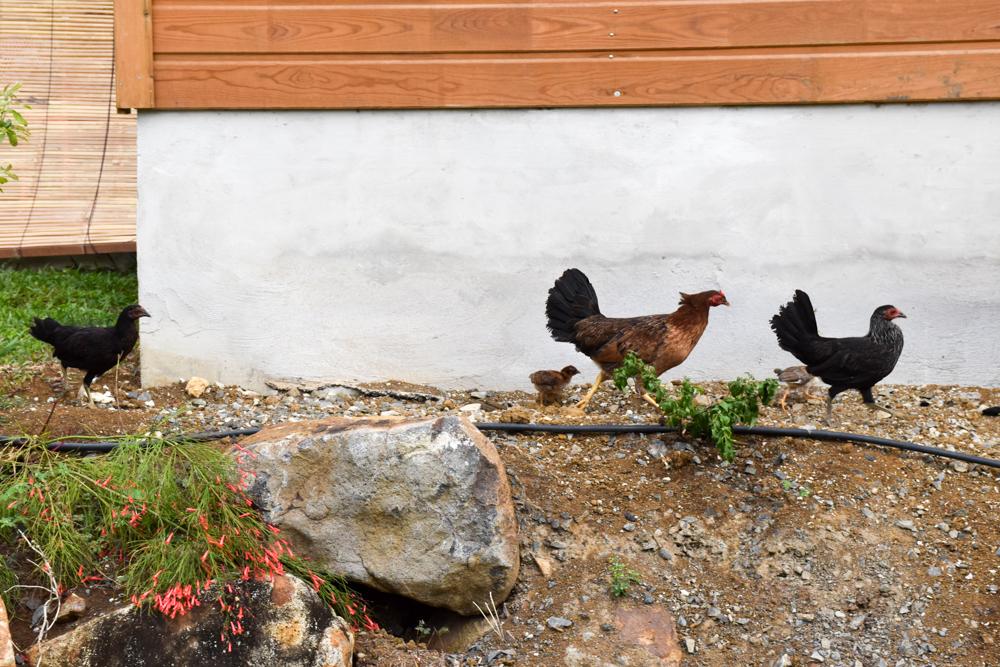 Beste Unterkunft Guadeloupe Basse-Terre Amour Deshaies Hühner im Garten