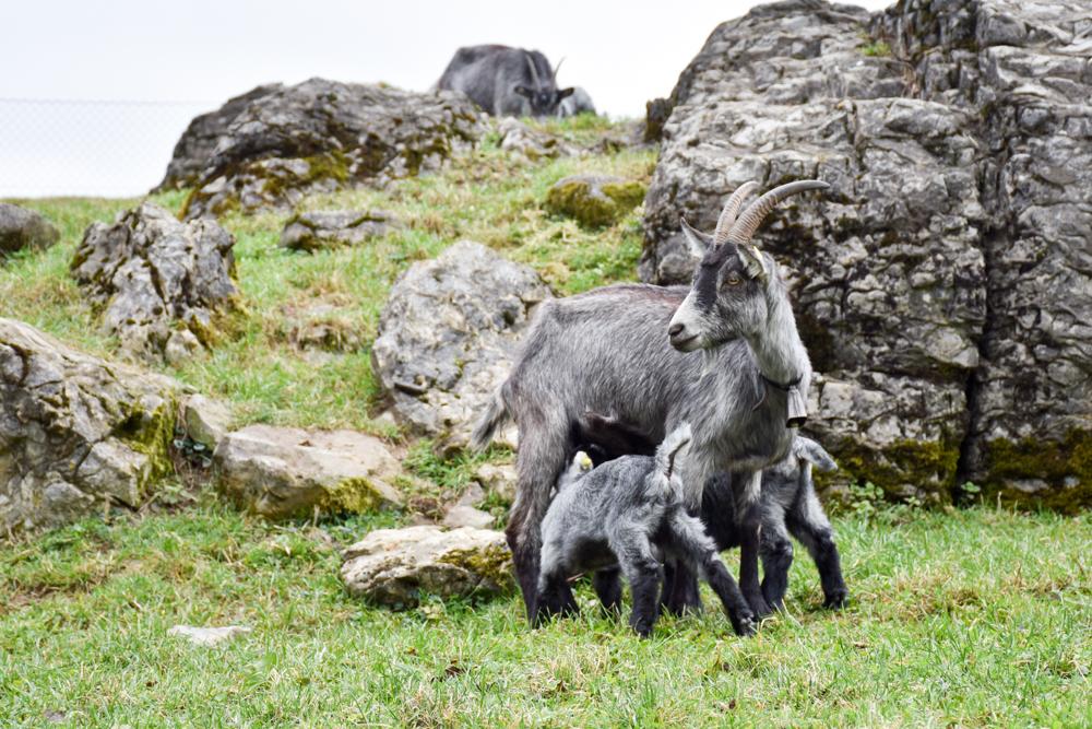 Unterkunft Reka-Ferienresort Swiss Holiday Park Morschach Schwyz Schweiz Ziegen Erlebnishof Fronalp