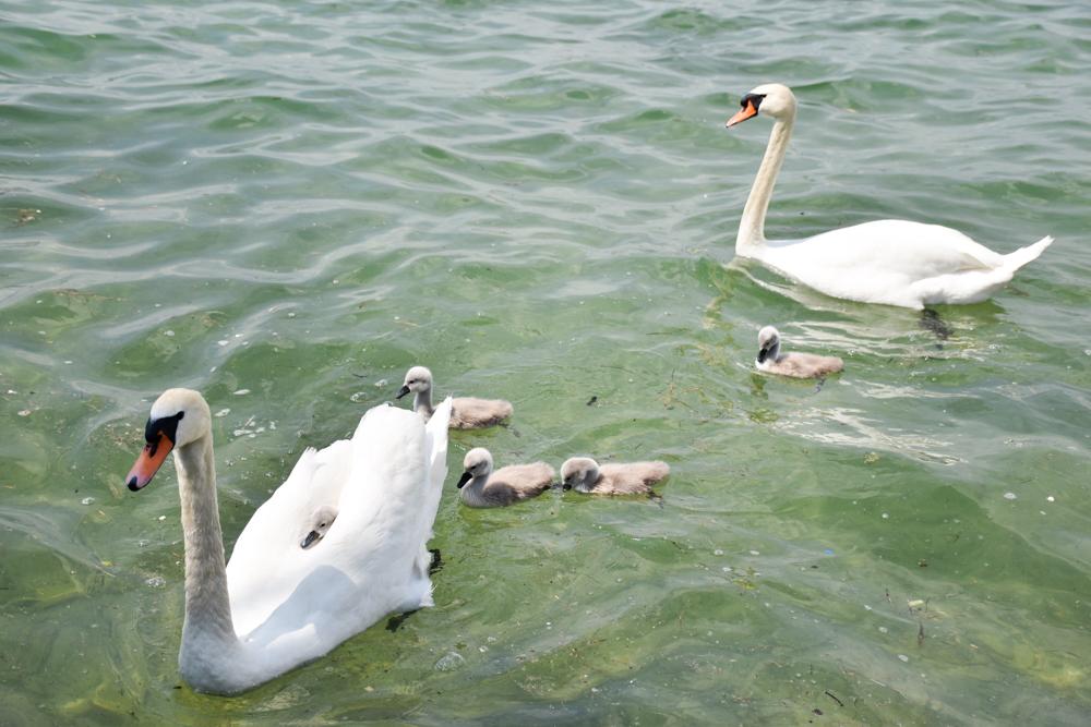 Familienroute Bodensee Rhein Bad Ragaz bis Schaffhausen Fahrradtour Schweiz Schwäne mit Babys SUP Boarderhouse Berlingen