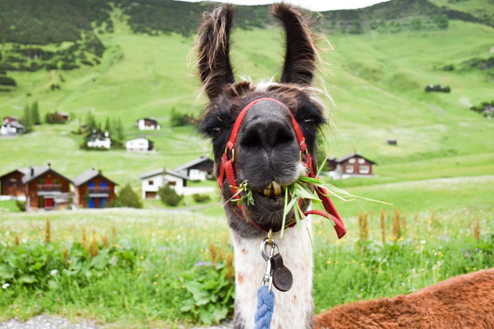 Lamatrekking Tipi Übernachtung Liechtenstein Lama Balou