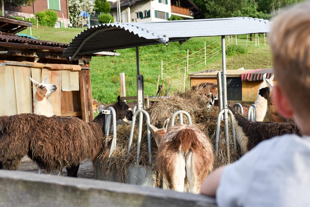 Lamatrekking Tipi Übernachtung Liechtenstein Lamas beobachten neben dem Tipi