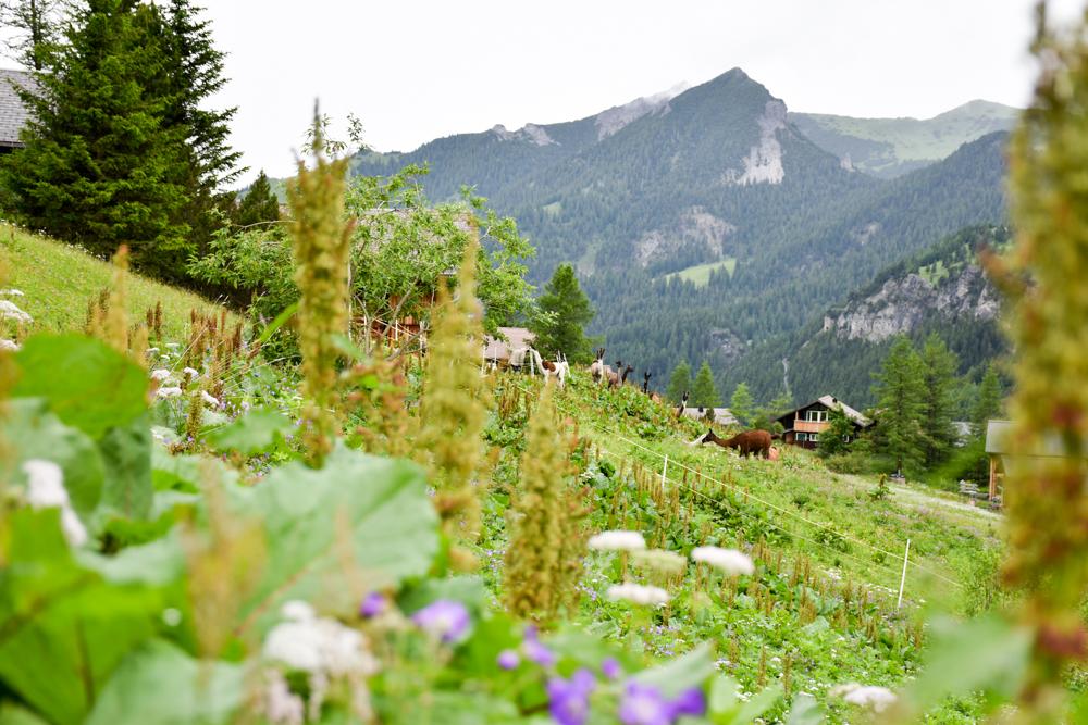 Lamatrekking Tipi Übernachtung Liechtenstein Lamas und Alpakas Malbun