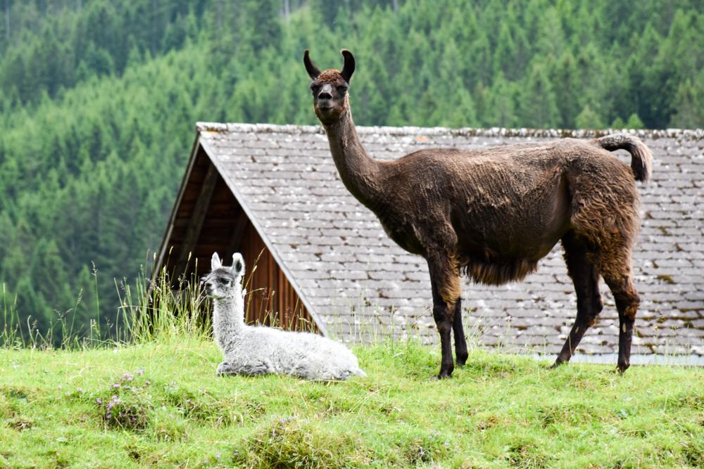 Lamatrekking Tipi Übernachtung Liechtenstein junges Lama Fred